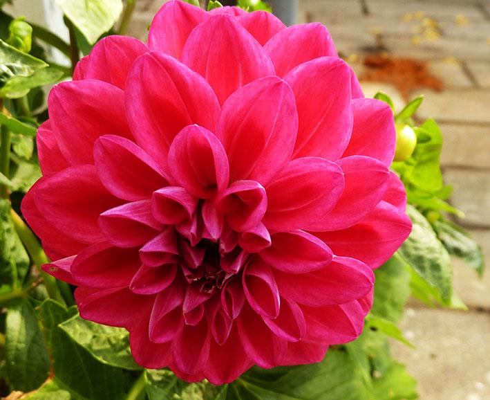 purple red flower
