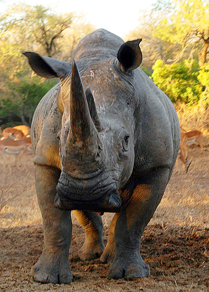 African white rhinoceros on the savannah