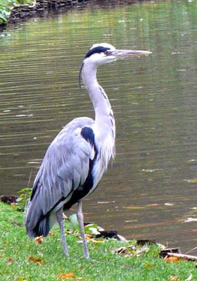 Heron at lake