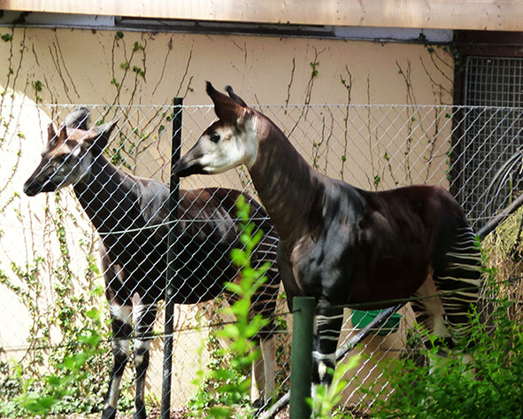 Okapi pictures from zoo