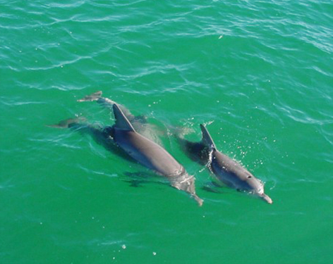 two dolphins swimming side by side