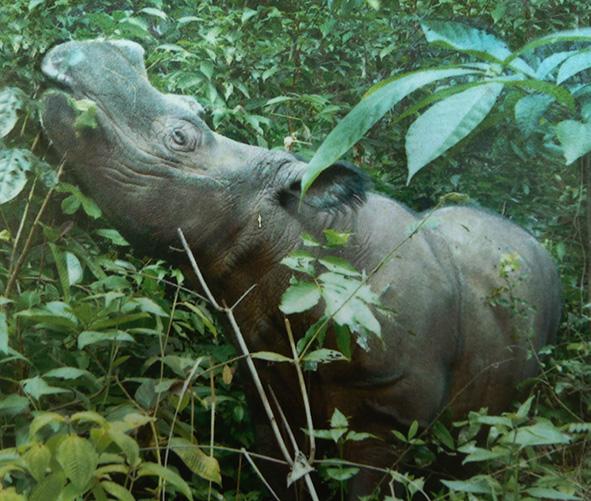 Sumatran rhinoceros in rain forest