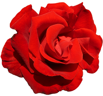 A red red rose cut-out