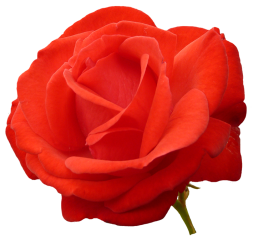 red red rose clipart