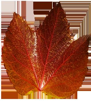 dark red autumn leaf