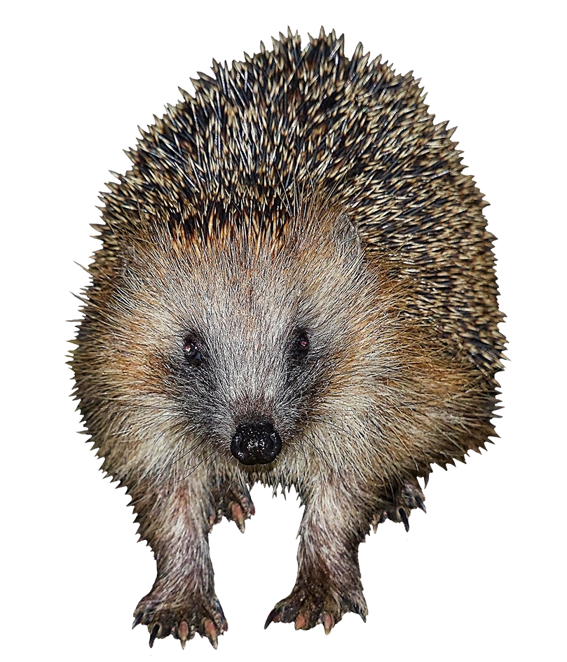 frontal clip art of hedgehog