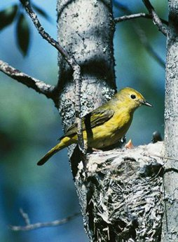 Yellow Warbler attends to nest