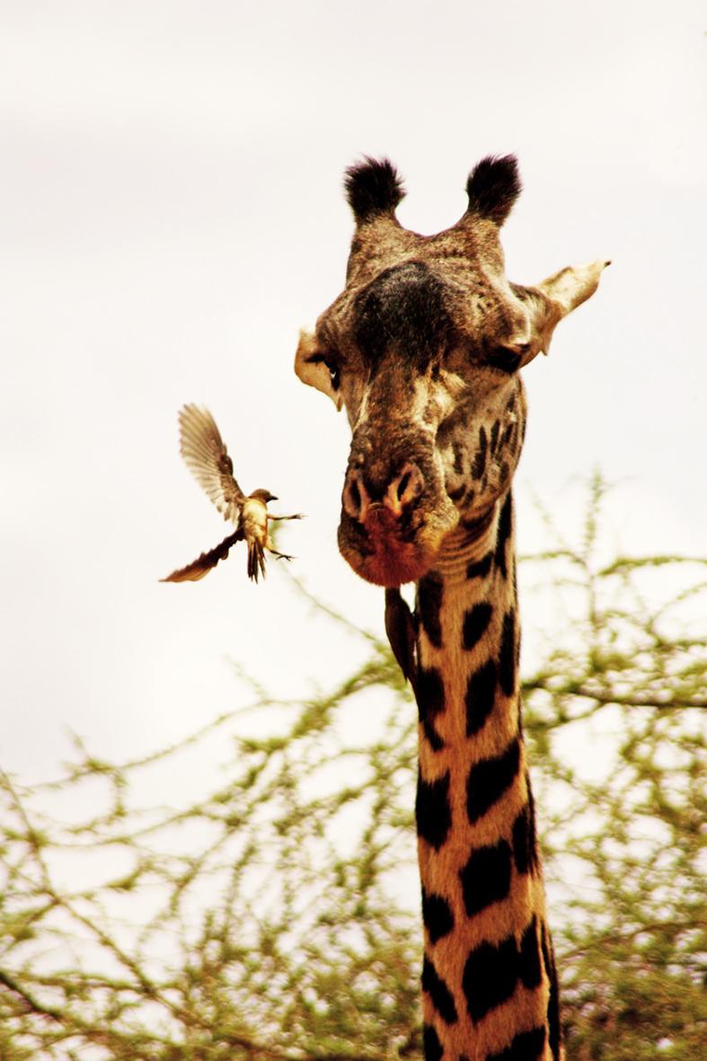 Giraffe and birds eating parasites