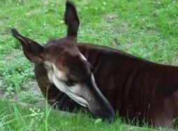 Head of okapi eating grass