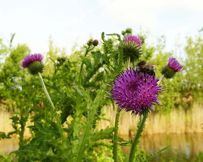 picture of purple thistle flower