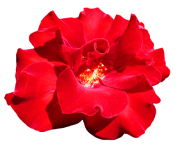 Red Valentine Rose clipart
