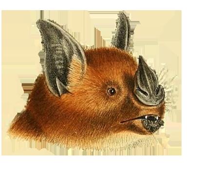 head phyllostoma hastatum bat