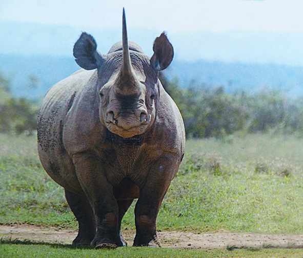 Black rhinoceros on the savanna