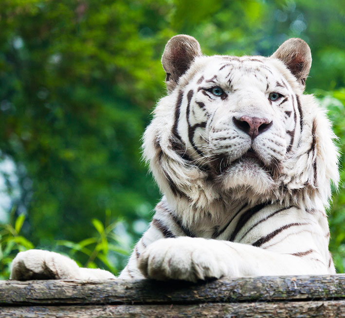 picture of white tiger