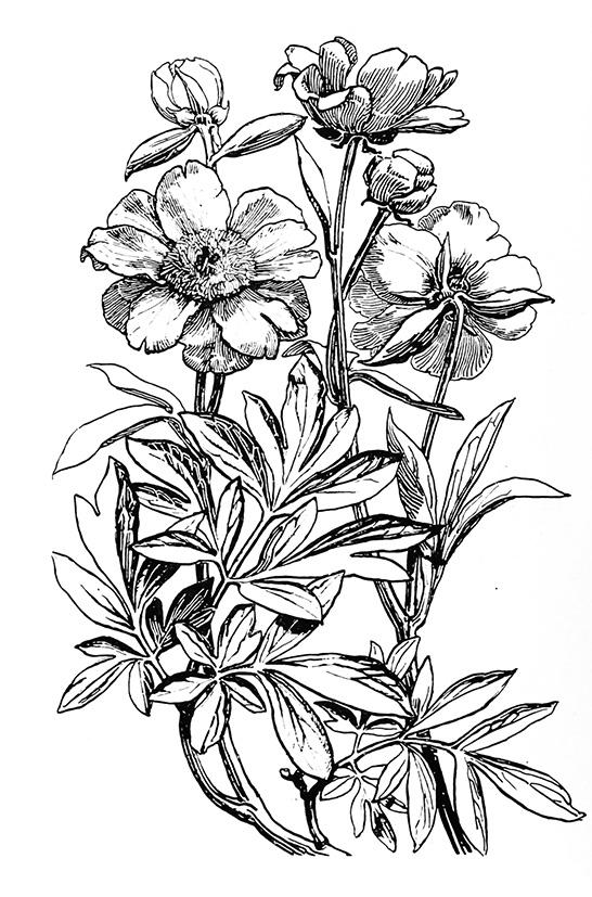 Flower image of peony
