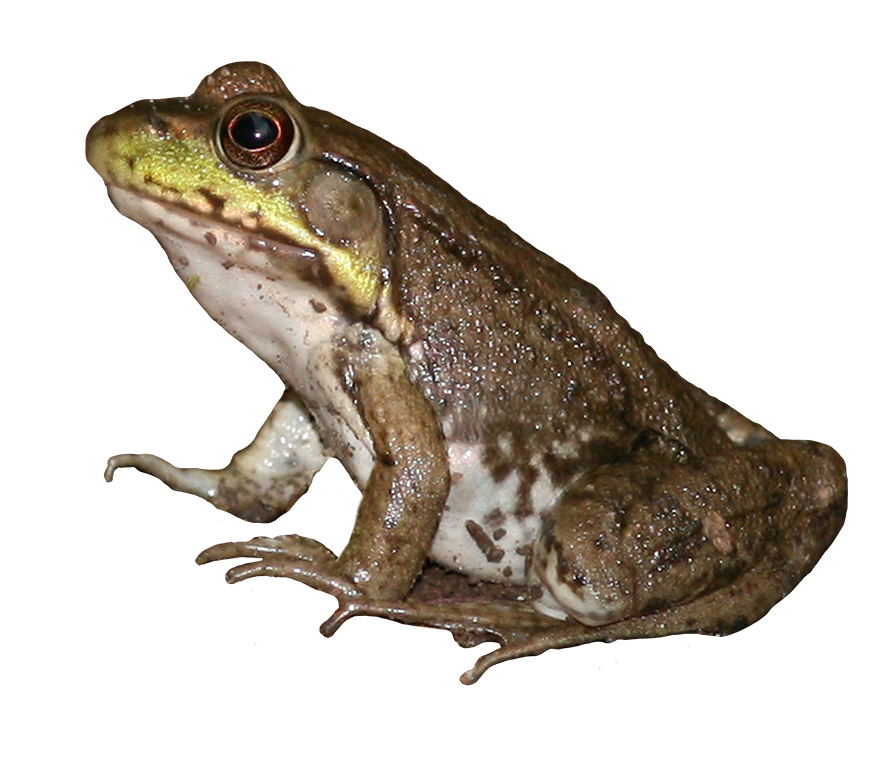 brown green frog