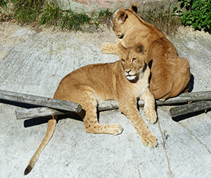 two beautiful big lion cubs