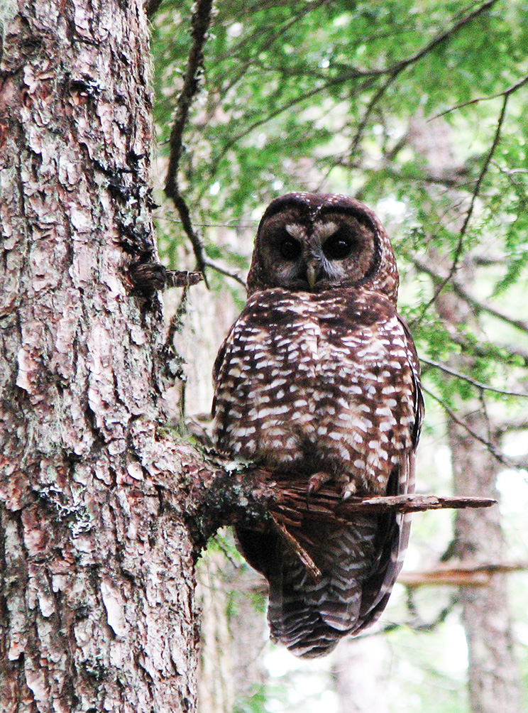 spotted owl in tree in daytime