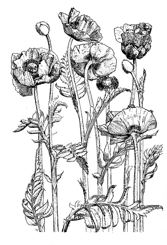 Oriental poppy drawing black white