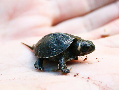 Bog turtle baby hold in palm of hand