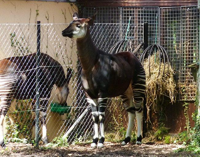 forest giraffe okapi