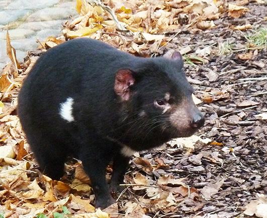 Picture of Tasmanian devil