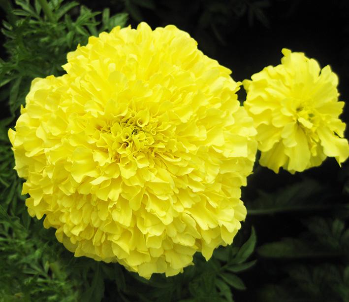 Yellow Geranium picture