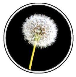 dandelion flower clip art example