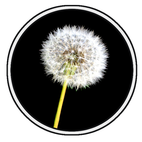 dandelion flower clip art example