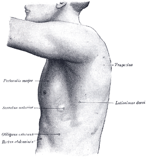 left side of thorax