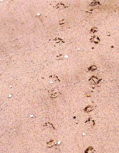 Tracks from Terrapin in sand