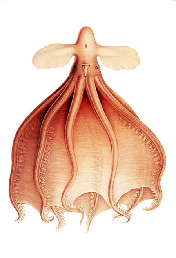 octopus-clipart-cirrothauma