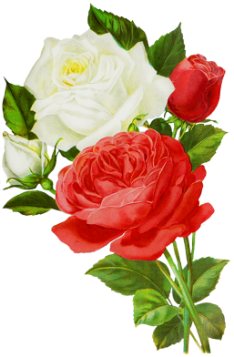 red and white roses drawings