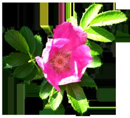 flower of dog rose