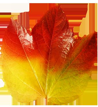 colorful autumn leaf of vine
