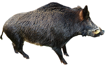 animal clip art wild boar