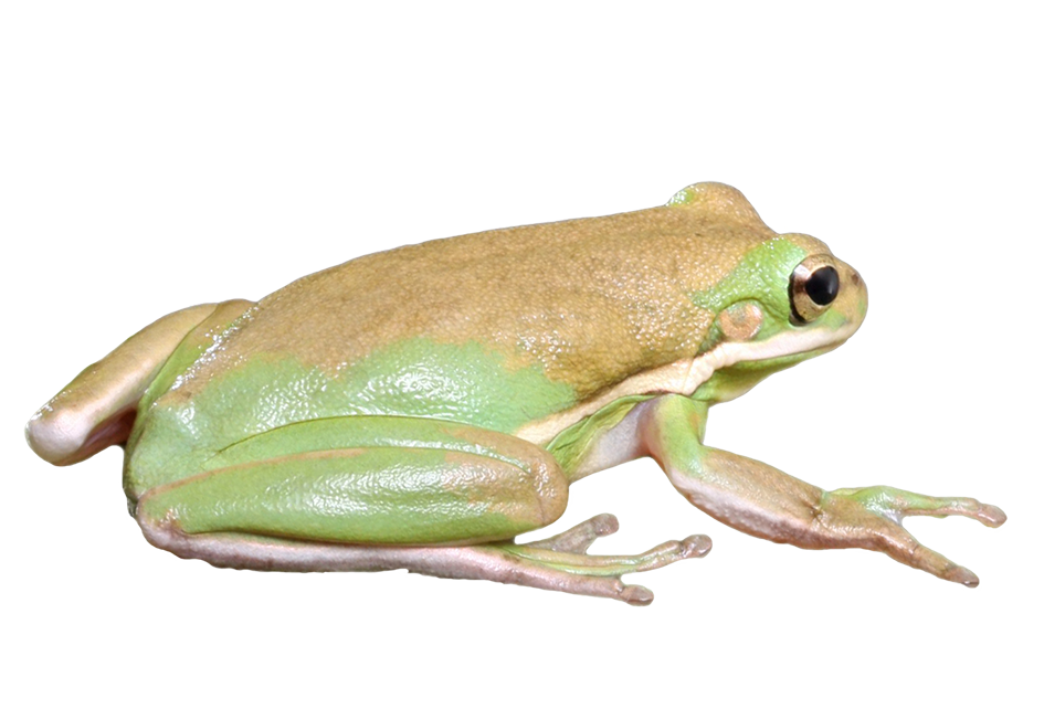 frog isolated graphic