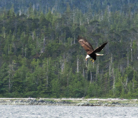 American bald eagle hunting in river