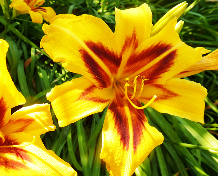yellow and red lily