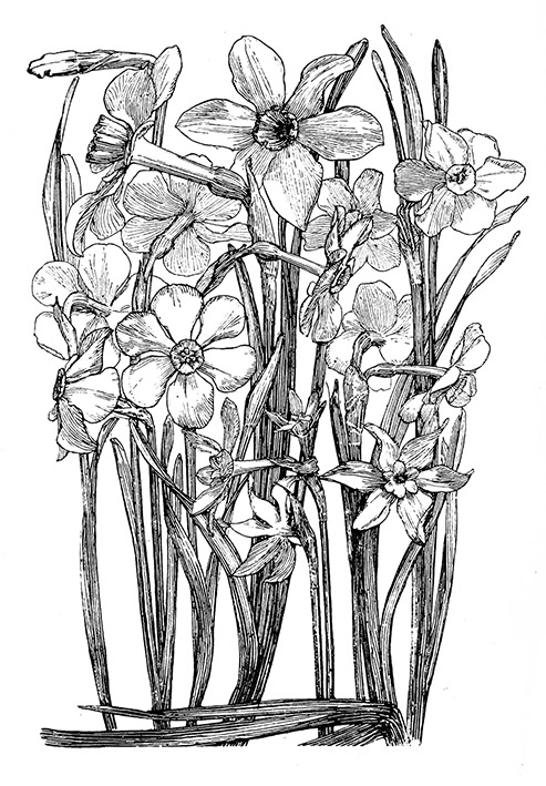 pencil sketch of different Narcissi