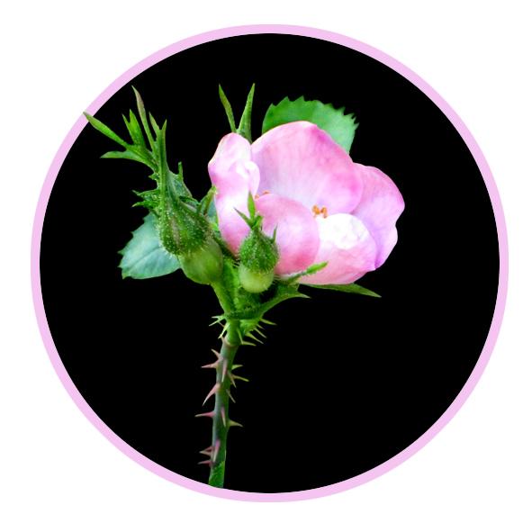 wild rose clip art example