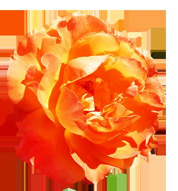 Orange rose for Valentine's Day