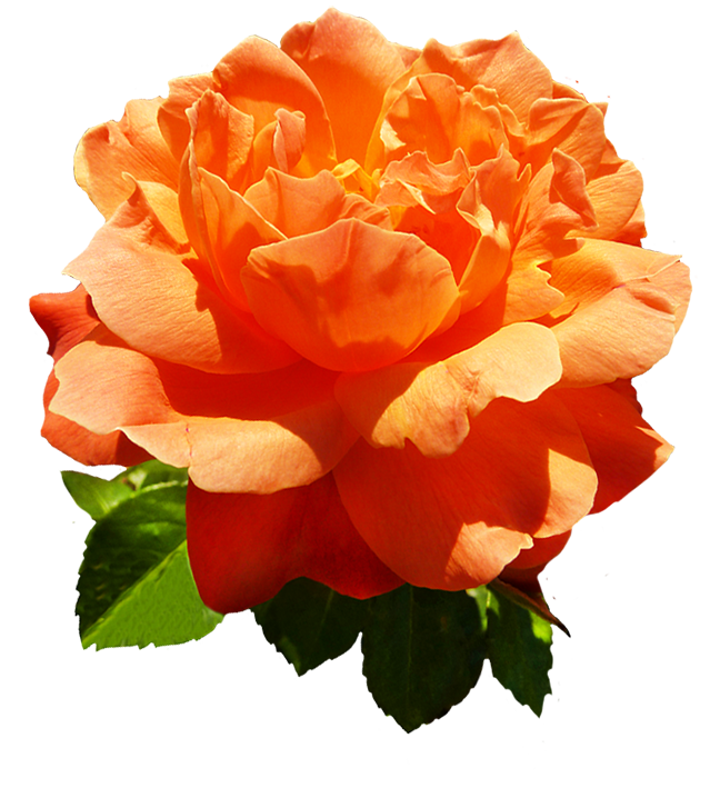 head of orange rose flower