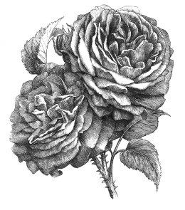 Rose drawing black white