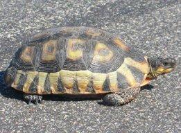 Chersina angulata tortoise picture