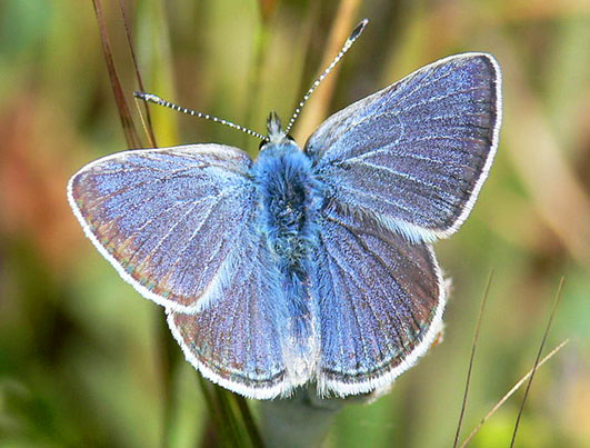 Male Mission blue butterfly beautiful