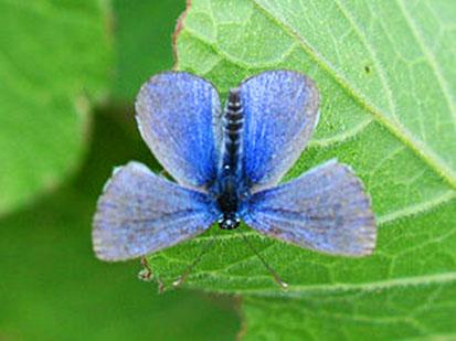 Glaucopsyche lygdamus butterfly photo