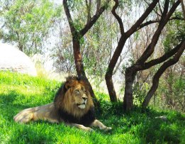 african lion resting under tree