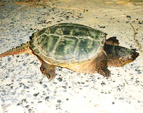 Snapping turtle on beach