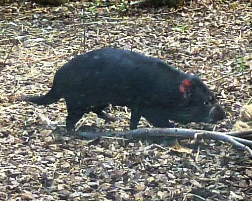 Tasmanian devil side view